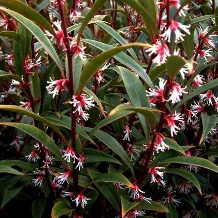 sarcococca purple stem 750x750