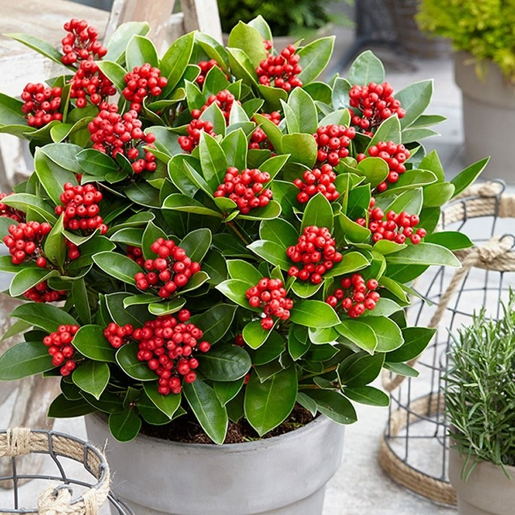 skimmia japonica sensation large female japanese skimmia. Black Bedroom Furniture Sets. Home Design Ideas