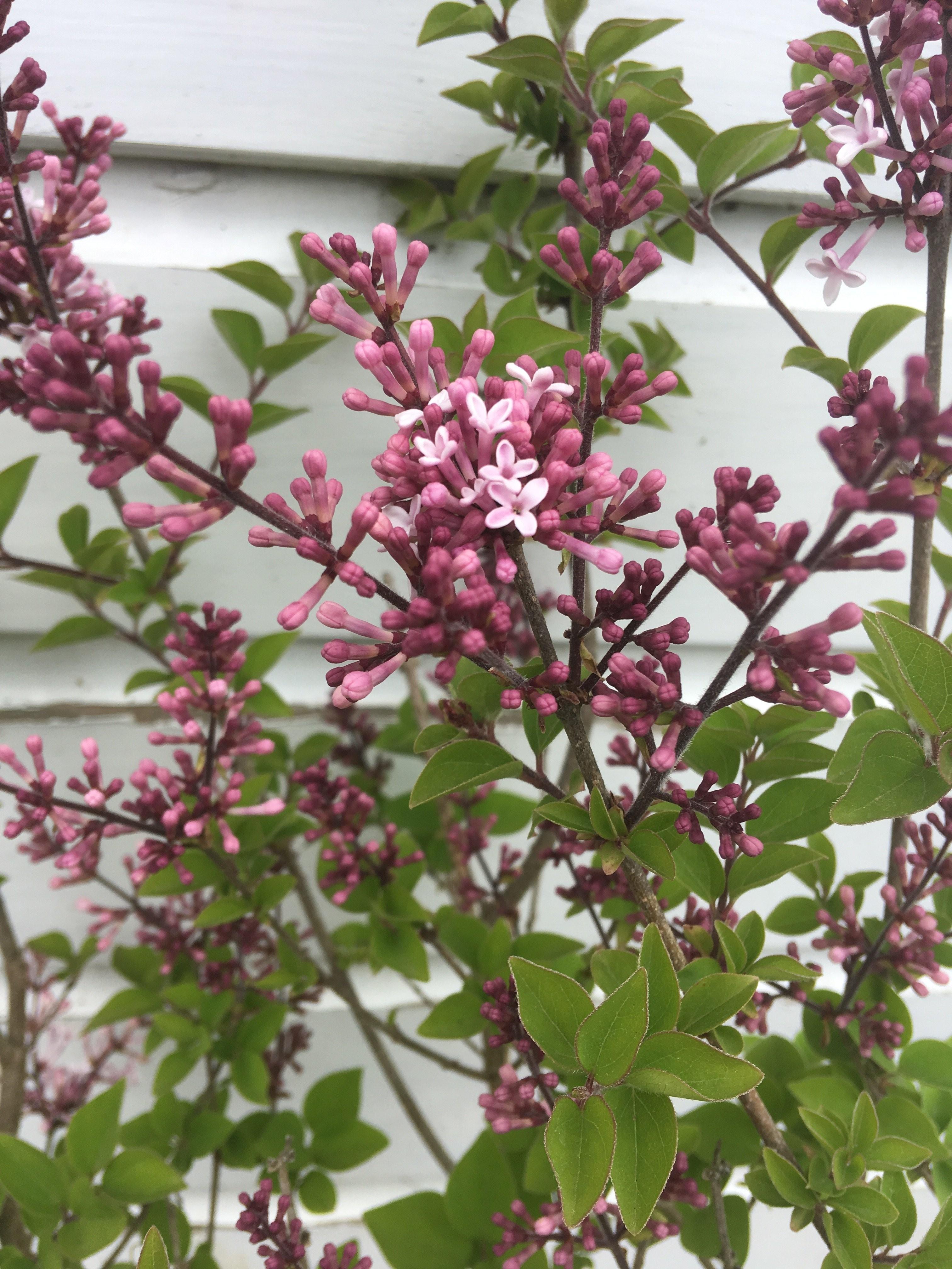 Lilac Flower Meaning Dwarf Korean Lilac Syringa Shrub Pack Of Two