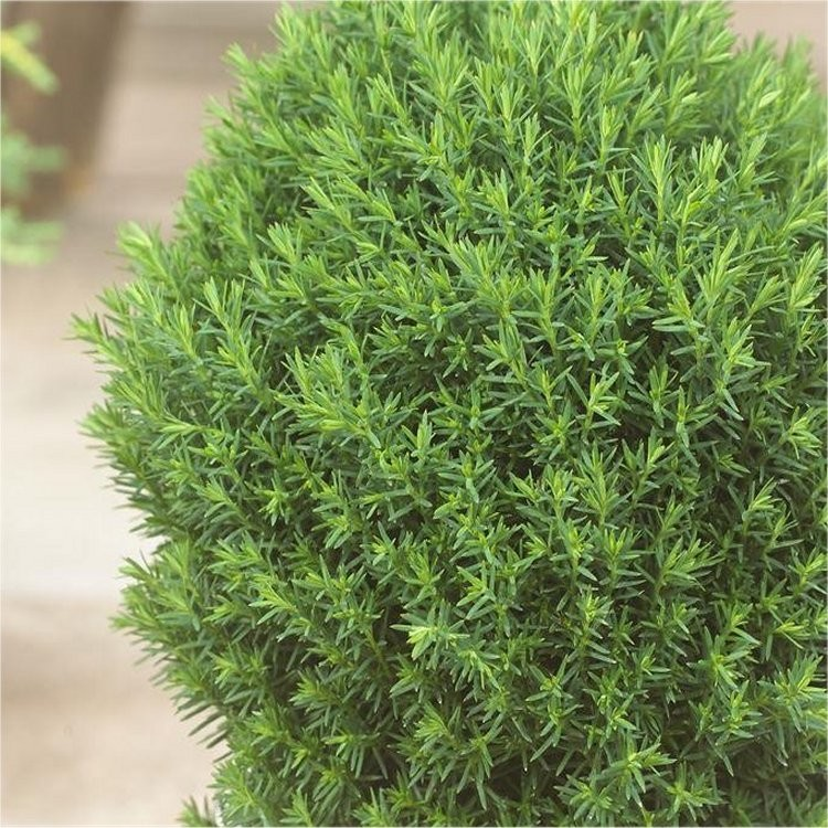 thuja occidentalis 39 teddy 39 dwarf slow growing conifer. Black Bedroom Furniture Sets. Home Design Ideas