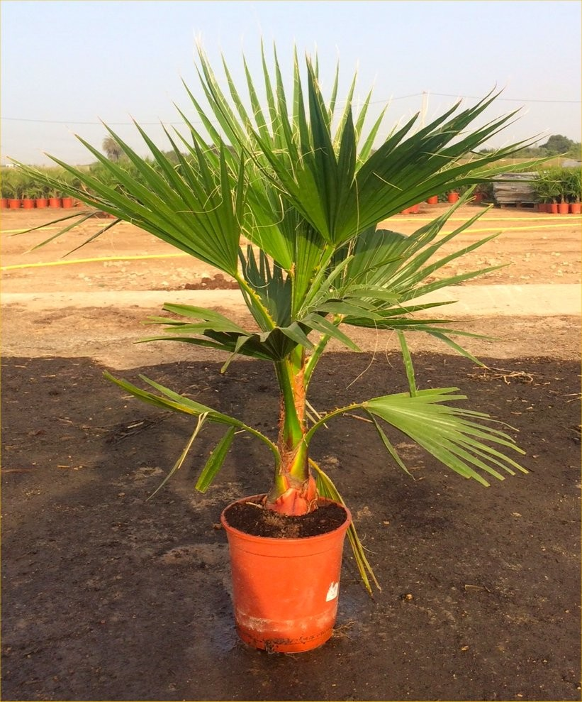 special deal mexican fan palms washingtonia robusta for patio or deck approx 100 120cms tall. Black Bedroom Furniture Sets. Home Design Ideas